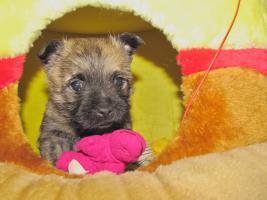 Foto 10 Cairn-Terrier Welpen von der Iburg...einfach super!