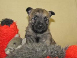 Foto 11 Cairn-Terrier Welpen von der Iburg...einfach super!