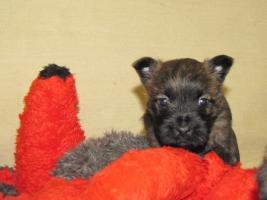 Foto 12 Cairn-Terrier Welpen von der Iburg...einfach super!