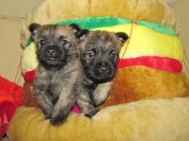 Foto 13 Cairn-Terrier Welpen von der Iburg...einfach super!