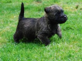 Foto 2 Cairn Terrier Welpen VDH/KFT