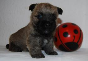 Foto 6 Cairn Terrier Welpen VDH/KFT