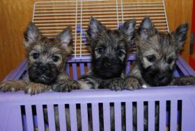 Foto 7 Cairn Terrier Welpen VDH/KFT