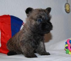 Foto 8 Cairn Terrier Welpen VDH/KFT
