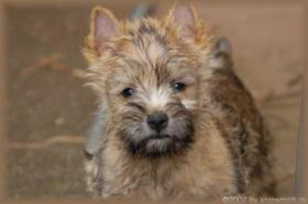 Foto 9 Cairn Terrier Welpen VDH/KFT
