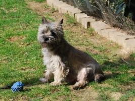 Foto 3 Cairn Terrier Welpen VDH/KFT