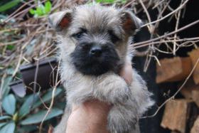 Foto 4 Cairn Terrier Welpen VDH/KFT