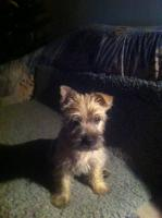 Cairn Terrier Welpen zu Verkaufen