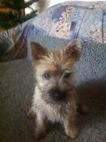 Foto 2 Cairn Terrier Welpen zu Verkaufen