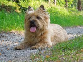 Cairn-Terrierwelpen