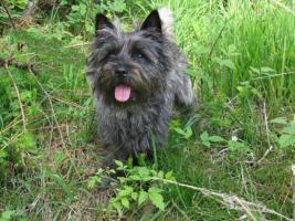 Foto 2 Cairn-Terrierwelpen