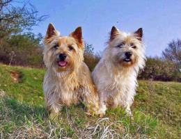 Foto 3 Cairn-Terrierwelpen