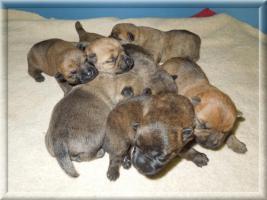 Foto 4 Cairn-Terrierwelpen