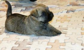 Cairn terrier welpen VDH/FCI pedigree