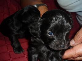 Foto 3 Caluga Welpen, kleine Hunde Babys