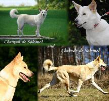 Foto 3 Canaan Dog (Kanaanhund) Welpen
