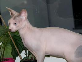 Foto 3 Canadian Sphynx Kater