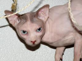Foto 5 Canadian Sphynx Kater