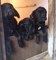 Foto 2 Cane Corso (3 Weibchen und 3 Männer) bereit für die Aufnahme!