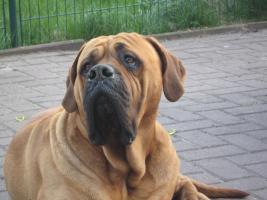 Foto 3 Cane Corso/Mastiff Mix Welpen
