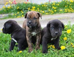 Foto 2 Cane Corso Puppies