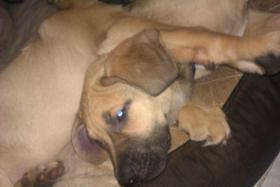 Foto 2 Cane Corso Schäferhund Mischlingshündin 3 Monate alt