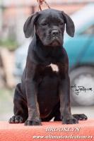 Foto 3 Cane Corso wunderbare Hundin
