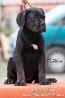 Foto 4 Cane Corso wunderbare Hundin