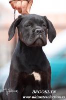 Foto 5 Cane Corso wunderbare Hundin