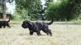 Cao-de-AguaportugiesischeWasserhunde-Wel