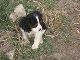 Foto 2 Cavalier King Charles Spaniel Mix Welpen