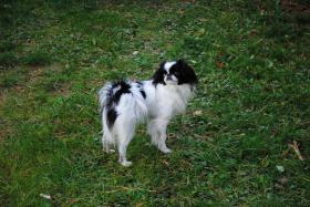 Foto 5 Cavalier King Charles Spaniel Welpe
