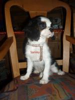 Cavalier King Charles Spanielwelpe Sammy, stubenrein, leinenführig, kinderlieb