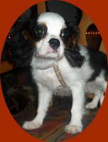 Foto 3 Cavalier King Charles Spanielwelpe Sammy, stubenrein, leinenführig, kinderlieb