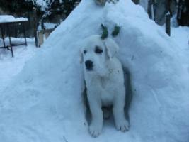 Foto 4 Central Asian Shepherd Hund
