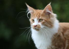 Foto 2 Charaktervolle Maine Coon Kitten