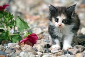 Foto 3 Charaktervolle Maine Coon Kitten