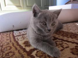 Chartreux-Kartäuser-Kitten