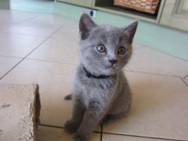 Foto 2 Chartreux-Kartäuser-Kitten