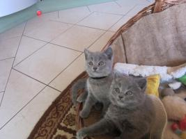 Foto 3 Chartreux-Kart�user-Kitten