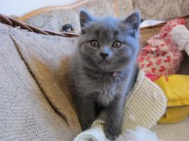 Foto 4 Chartreux-Kartäuser-Kitten