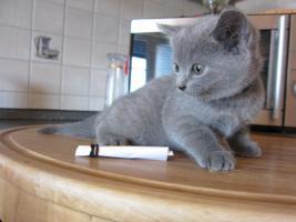 Foto 5 Chartreux-Kart�user-Kitten