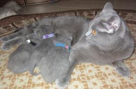 Foto 6 Chartreux-Kart�user-Kitten