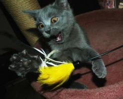 Foto 2 Chartreux, reinrassige Kartäuser Kitten