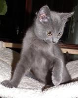 Chartreux, reinrassige Kart�user Kitten