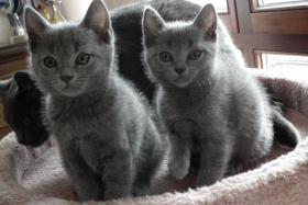 Foto 2 Chartreux, reinrassige Kart�user Kitten