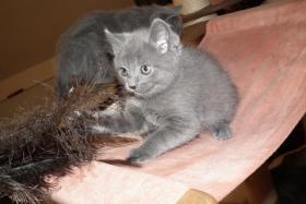 Foto 3 Chartreux, reinrassige Kartäuser Kitten