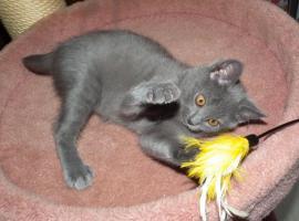 Foto 4 Chartreux, reinrassige Kart�user Kitten