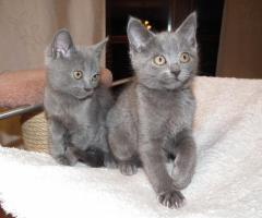 Foto 5 Chartreux, reinrassige Kartäuser Kitten