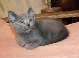 Foto 6 Chartreux, reinrassige Kartäuser Kitten